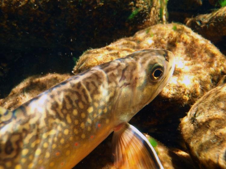 Native brook trout
