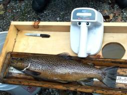 Big brown with radar tag implant 2003